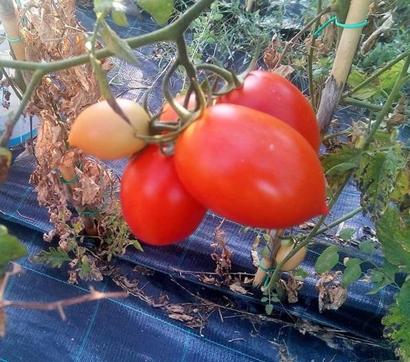 pomodori luana orto mio