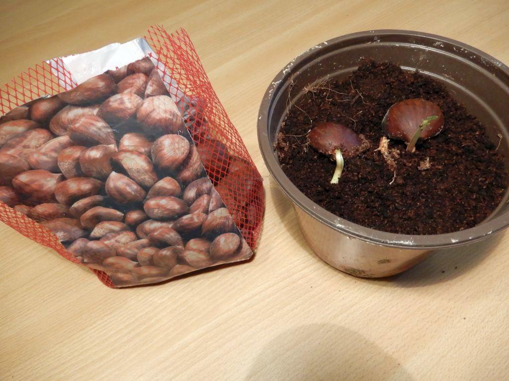 semina albero castagno