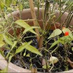 uso della cenere di legna nell'orto