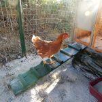 gallina nuovo pollaio fai da te