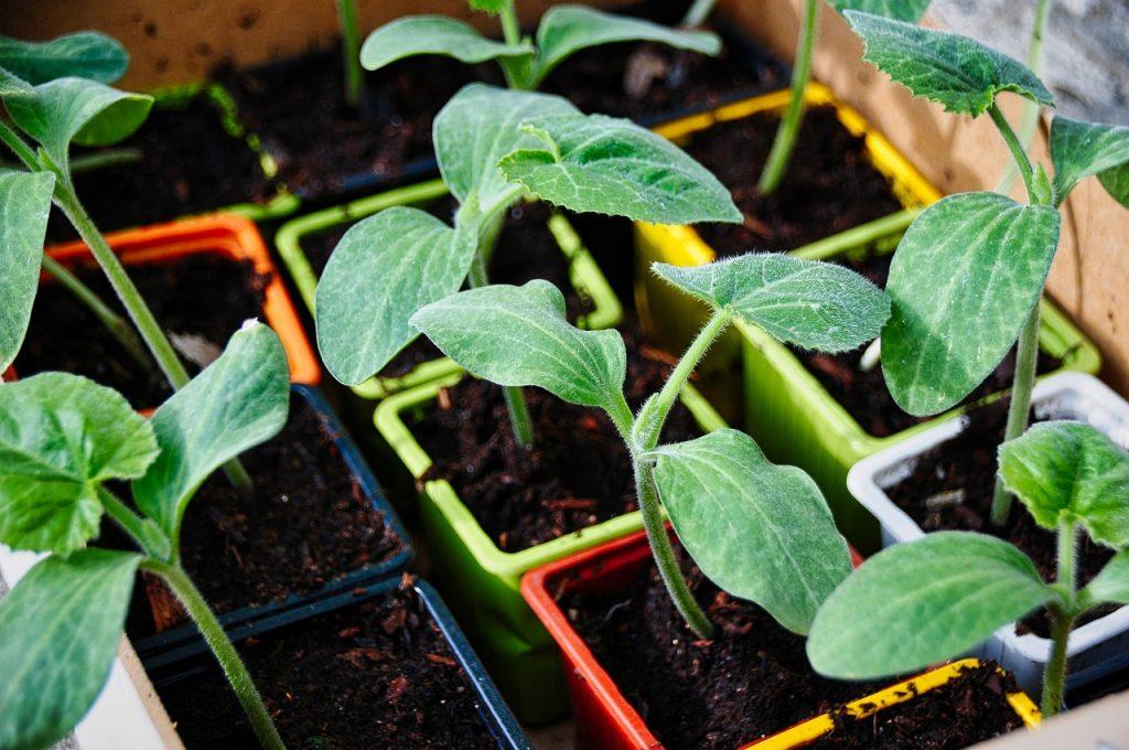 coltivazione delle zucchine-piantine
